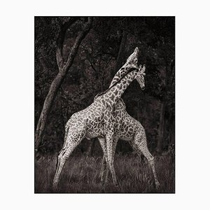 Giraffes. Masai Mara. Photo by Nick Brandt, 2008