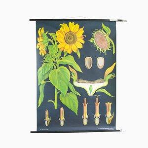Mid-Century Sonnenblume Lehrtafel aus Holz & Papier, 1960er