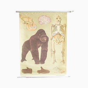 Ausziehbare Mid-Century Lehrtafel aus Holz und Papier mit Gorilla-Motiv, 1960er