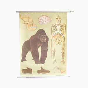 Charte Déroulante Gorille Mid-Century en Bois et Papier, 1960s