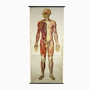 Vintage German Human Nervous System Educational Chart from Deutsches Hygiene-Museum, 1950s