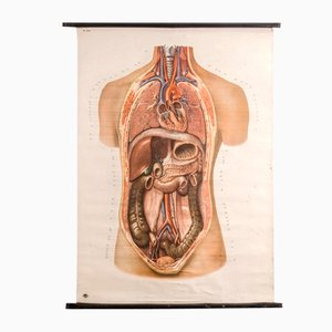 Poster anatomico vintage del Deutsches Hygiene Museum Dresden, anni '60