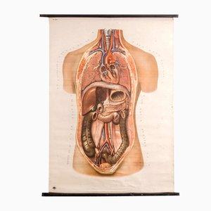Póster de anatomía vintage de Deutsches Hygiene Museum Dresden, años 60