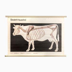 Poster vintage dell'anatomia della mucca di Volk und Wissen Volkseigener Verlag, 1982