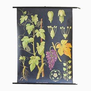 Póster de botánica, años 60