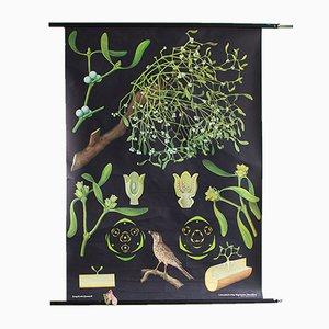 Póster botánico del muérdago, años 60