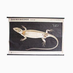 Póster educativo de esqueleto de lagarto grande, años 60