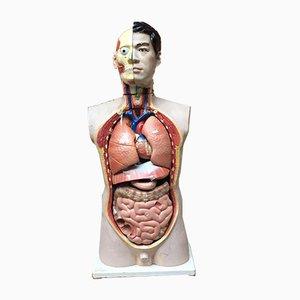 Italian Plastic Laboratory Anatomical Bust, 1980s