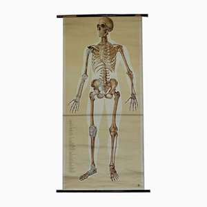 German Anatomical Human Front Skeleton Structure Chart Poster, 1961