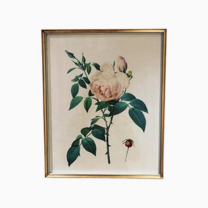 Rosa Indica Fragrans Illustration by Pierre Joseph Redouté, 1950s