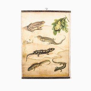 Lehrtafel über Amphibien, 19. Jh.
