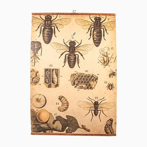 Póster educativo checoslovaco antiguo de abejas, abejas reina y larvas