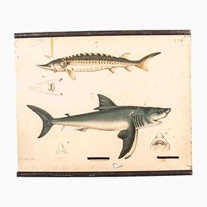 Antike deutsche Lehrtafel über Haie