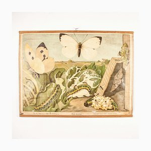 Antique German Educational Chart Of Pieris Brassicae