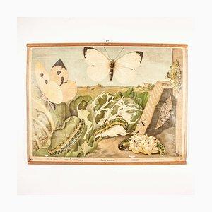Stampa antica educativa di Pieris Brassicae, Germania