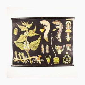 Tableau Éducatif Botanique Ancien par Jung, Koch, And Quentell pour Frommamn & Morian, Allemagne