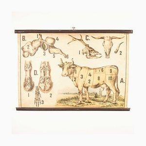 Antique Czechoslovakian Educational Butchering Chart