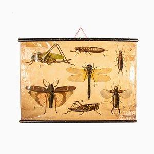 Stampa educativa antica raffigurante insetti