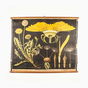 Antique Educational Dandelion Poster