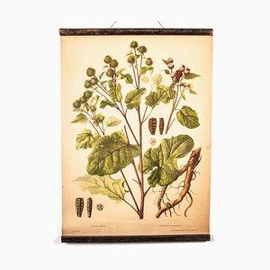 Antike Lehrtafel über Klettenpflanzen