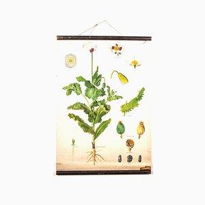 Antike Mohnblume Lehrtafel