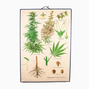 Antike Hanfpflanze Lehrtafel