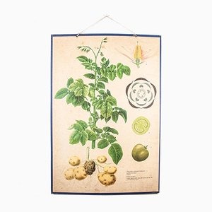 Antique Rigid Chart Czechoslovakian Potato & Tomato Plants Educational Poster