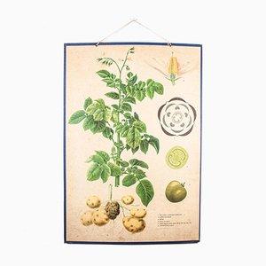 Póster educativo checoslovaco antiguo de las planta del tomate y la patata