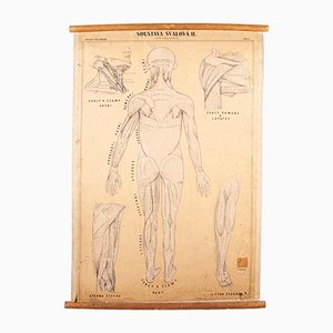 Antique Czechoslovakian Educational Muscular System Chart Poster