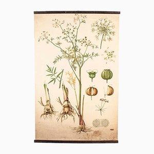 Poster educativo botanico antico