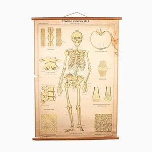 Antique Educational Human Skeleton Chart Poster