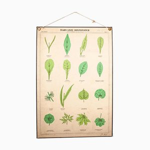 Antique Rigid Educational Botanical Chart Poster