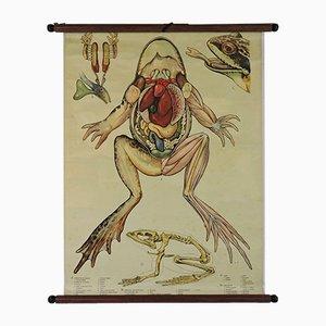 Vintage Frosch Anatomie Lehrtafel, 1970er