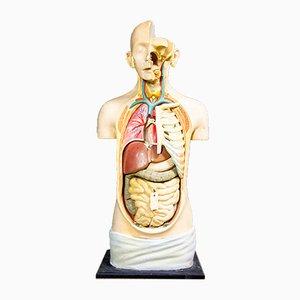 Busto anatomico in gesso di Louis M. Meusel, anni '20
