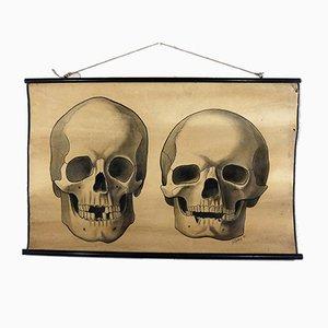 Charte Murale Scolaire de Crânes Anatomique par G Helbig, 1930s