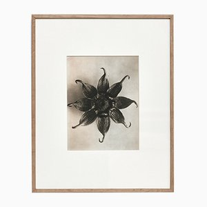 Photographie Botanique Photogravure Fleur Noire et Blanche par Karl Blossfeldt, 1942