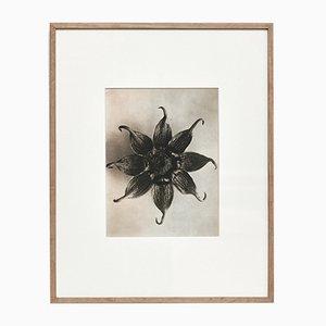 Schwarz-weiße Blumen Fotogravüre von Karl Blossfeldt, 1942