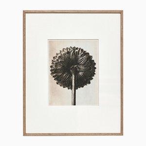 Botanische Fotogravüre in Schwarz-Weiß von Karl Blossfeldt, 1942