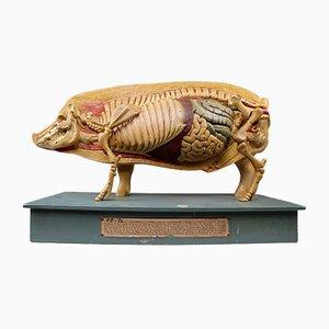 Modelo anatómico de un cerdo alemán, años 30
