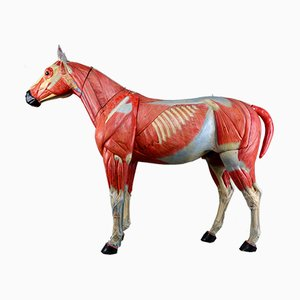 Large Antique Anatomical Model of a Horse by Somso