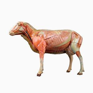 Modèle Anatomique Vintage d'un Mouton de Somso, Allemagne