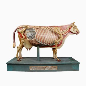 Antique German Anatomical Model of a Cow from Somso, 1930s