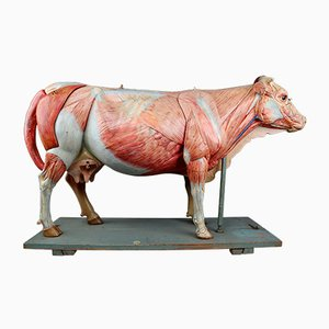Large Antique German Anatomical Model of a Cow from Somso, 1910s