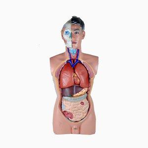 Modello di corpo umano con organi rimovibili, anni '80