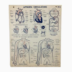 French Vintage Anatomical Circulation Chart, 1960s