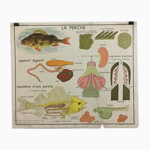 Vintage French No. 13/14 Rossignol School Anatomical Chart, 1960s
