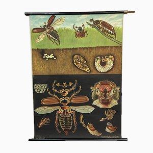 Vintage Jung Koch Quentell Cockchafer Beetle Chart