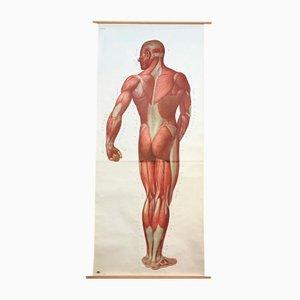 Stampa anatomica vintage tedesca di Deutsches Hygiene Museum, Germania, anni '20