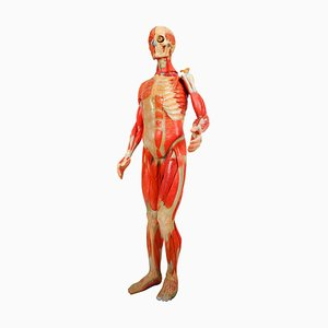 Anatomical Human Model, 1930s