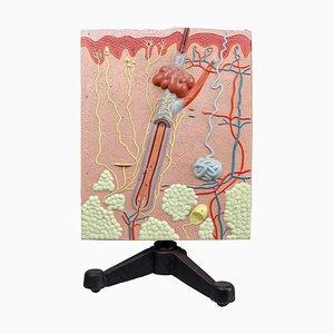 Anatomisches Lehrmodell Gips auf Metallbasis, 1960er